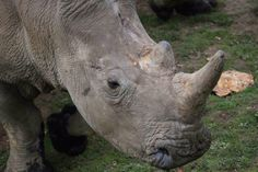 A rhino at a French zoo was killed for his horn. Could that happen here?