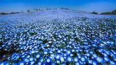 Hidenobu Suzuki fotografou 4,5 milhões de nemophila. E partilhou-as connosco.