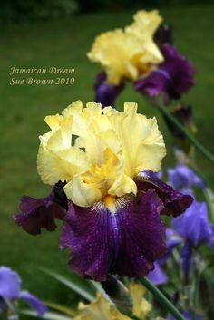 Full size picture of Tall Bearded Iris 'Jamaican Dream' (Iris)