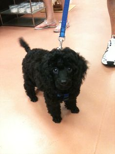 Jack the poodle puppy <3