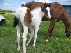 Cool Running Ranch | Quarter and Paint Horses