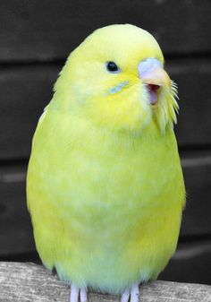 I like the lack of markings on this budgie. He's a subtle blend of green and yellow, and has a war paint like blue streak on his cheek.