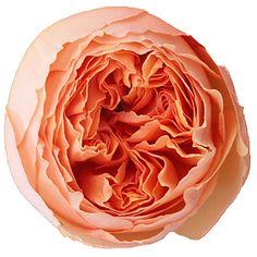 salamanasar-orange-version-500_204eca65.jpg 500×500 pixels