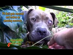 Pit Bull gets rescued and makes an amazing recovery - Please Share. Pitties are so resilient. Watch as she goes from frightened to smiling