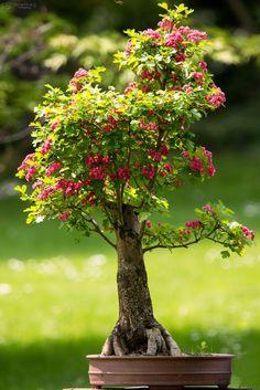 Prague, Botanical Gardens, Bonsai, My Photos, Flowers, Plants, Plant, Royal Icing Flowers, Flower