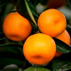 Organic Satsuma essential oil by LaughingLilyHerbs on Etsy Satsuma Orange, Trees Online, Citrus Trees, Candy Cookies, Organic Coconut Oil, Essential Oils, Pure Products, Fruit, Plants
