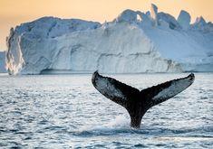 Dyreliv i Grønland - havpattedyr, isbjørne, sæler