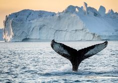 Greenlandic fauna – whales, seals, polar bears