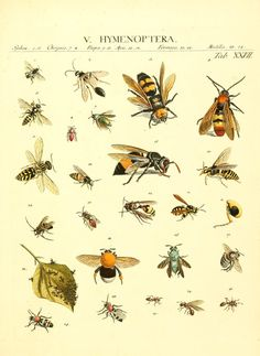 1 - Genera insectorum Linnaei et Fabricii iconibus illustrata / - Biodiversity Heritage Libraryc. 1 - Genera insectorum Linnaei et Fabricii iconibus illustrata / - Biodiversity Heritage Library Illustration Botanique, Plant Illustration, Botanical Illustration, Impressions Botaniques, Scientific Drawing, Insect Art, Fauna, Botanical Prints, Natural History