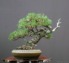 bonsai semicascada | Вальтер Палл, Германия - Бонсай форум ...