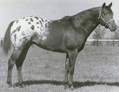 Wapiti foaled in 1955 made an important contribution to the Appaloosa horse breed