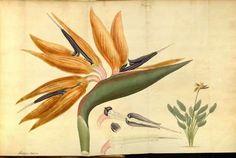 Strelitzia reginaeBanks ex Aiton(bird of paradise Flower) Andrews, H.C., The botanist's repository, vol. 6: t. 432 (1804-1805)