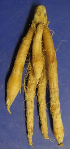 Fingerroot (Boesenbergia rotunda), also known as Chinese ginger, is a medicinal and culinary herb from China and Southeast Asia. In English, the root has traditionally been called Fingerroot, because the shape of the rhizome resembles that of fingers growing out of a center piece. Fingerroot is known as temu kunci in Indonesian. It is widely used in Javanese cuisine in Indonesia.  In Thai cooking it is called krachai (Thai: กระชาย).