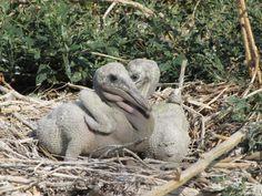 Baby Pelicans on Pelican Island
