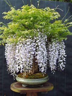 Wisteria Bonsai – my site Flower Garden, Planting Flowers, Wisteria Bonsai, Plants, Bonsai Tree, Bonsai Flower, Growing Tree, Small Trees, Wisteria