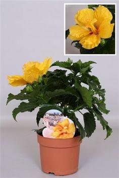 Dropbox - Hibiscus Fiori Grande Valencia 13cm.jpg