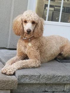 Standard Poodle , Bella
