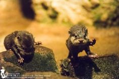 Little Otter Pups Get Their Footing on the RocksVia the Otter...