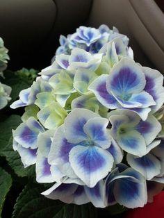 Hydrangea macrophylla 'Blue Harlequin'