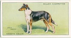 From New York Public Library Digital Collections. Smooth Collie, Dog Artwork, Collector Cards, Vintage Dog, New York Public Library, Old Postcards, Art Drawings, History, My Favorite Things
