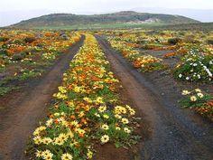 Namaqualand, up the west coast of South Africa South African Flowers, South Afrika, Mellow Yellow, Africa Travel, Wild Flowers, Desert Flowers, West Coast, Places To See, Pretoria
