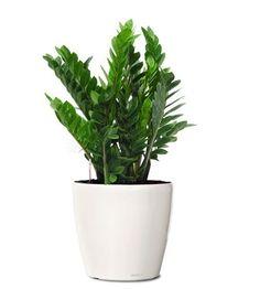 medium white potter for zz plants | ZZ Plant - Buy Zamioculcas zamiifolia Buy Plants