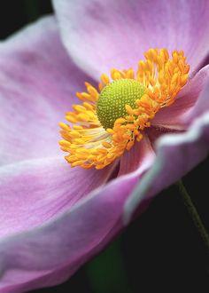 Anemone hupehensis My favorite in my flower garden! Macro Flower, Anemone Flower, Cactus Flower, Amazing Flowers, Beautiful Flowers, Exotic Flowers, Fresh Flowers, Purple Flowers, Flowers Nature