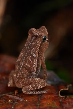 Juvenile leaf litter toad (Rhinella sp.) | Photo from Sani l… | Flickr