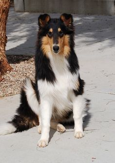 Tricolor Rough Collie sitting