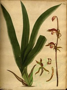 Epidendrum sinensis ~ The botanist's repository, for new, and rare plants : London :Printed by T. Bensley, and published by the author . Flower Graphic, Free Plants, Botanical Prints, Botany, Flower Decorations, Planting Flowers, Orchids, Plant Leaves, Flora
