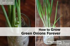 How to Grow Green Onions Forever