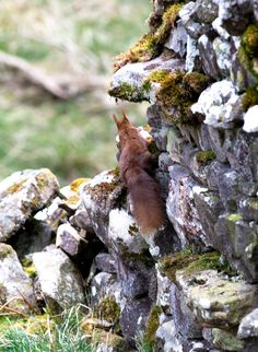 We are delighted to have found a new drey of red squirrels here at Williamston Barns. Luxury Holiday Cottages, Holiday Accommodation, Luxury Holidays, Squirrels, Barns, Red, Chipmunks, Barn, Squirrel