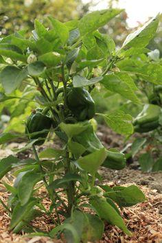 Le paillis - botanic® Permaculture, Oui, Mulches, Vegetable Gardening, Interview, Plant, Colors