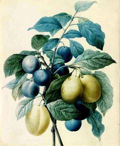 "Pierre-Joseph Redouté's ""Plum Branches Intertwined,"" 1802-4"