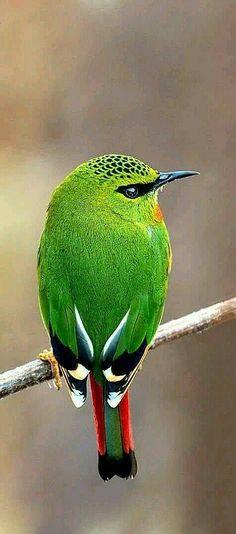 Fire Tailed Myzornis bird of India ゴシキチメドリ