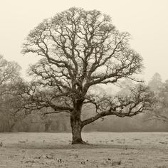 Winter Oak, Respryn Woods, Near Bodmin, North Cornwall