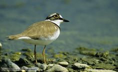 Little ringed plovers were seldom seen in the UK prior to the second world war. Second World, World War Two, Bbc, Birds, Nature, Animals, Animales, Animaux, Bird