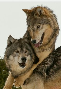wolf male and female Wolf Photos, Wolf Pictures, Animal Pictures, Beautiful Creatures, Animals Beautiful, Tier Wolf, Canis Lupus, Animals And Pets, Cute Animals