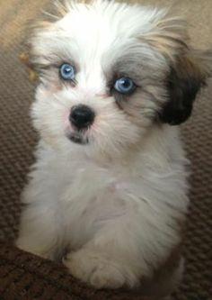 314 Best Animals Images Baby Shih Tzu Shih Tzu Puppy Shih Tzus