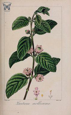 VINTAGE BOTANICAL PRINT - Lippia alba [as Lantana mollissima] Herbier général de l… | Flickr