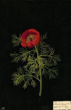 Mary Delany, Paeonia Tenuifolia, Fine leav'd Piony collage, 1778