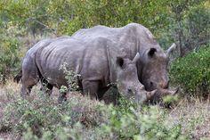 Rhinocéros blancs