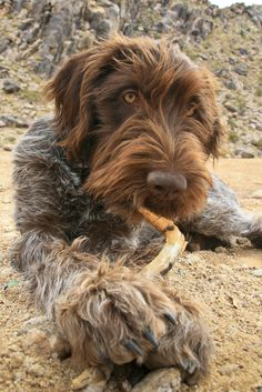Korthals griffon ..also called Wirehaired Pointing Griffon, and this is Winchester