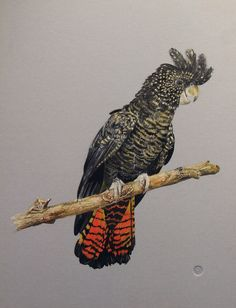 Painting of a Female Red tailed Black Cockatoo by Ink-DreamsMMIX.