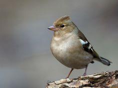 Börzsöny.org Bird Feathers, Nature Photos, Pets, Animals, Chaffinch, Animales, Animaux, Animal, Animais