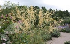 Buy golden oats Stipa gigantea: Delivery by Waitrose Garden in association with Crocus Perennial Grasses, Planting Shrubs, Planting Plan, Ornamental Grasses, Perennials, Dry Garden, Gravel Garden, Winter Garden, Fargesia
