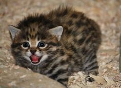 Black-footed cats are a rare species half the size of house cats.
