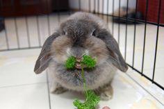 Bunny eating parsley.