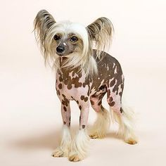 Chinese Crested. My dream doggie. I have wanted one of these for as long as I can remember! I will have one....someday!