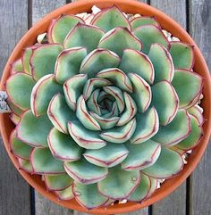 Echeveria pulidonis is a very neat compact plant, which offsets well and has pretty little yellow flowers. While not being totally hardy, it does have some tolerance of cold.